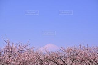 初春の頃、紅梅と雪をかぶった富士山の写真・画像素材[4200019]