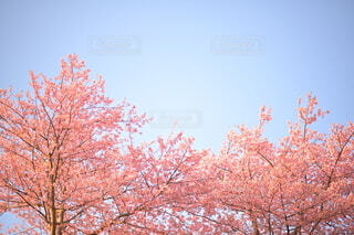 桃色の満開の河津桜が青空に映えるの写真・画像素材[4203560]