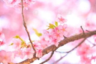 桃色に囲まれた早咲きの河津桜の写真・画像素材[4213768]