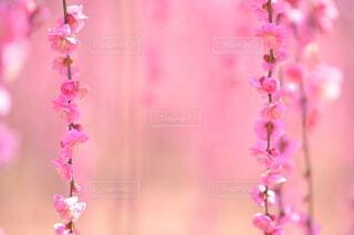 ピンク色の背景に、しだれ梅のつぼみの二連リボンの写真・画像素材[4222297]