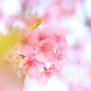 ピンク色の桜の花の写真・画像素材[4280328]