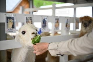 おいしそうに草を食べるアルパカの写真・画像素材[4457463]