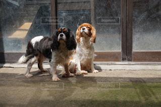 犬の写真・画像素材[407573]