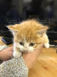 テーブルの上に座っている猫の写真・画像素材[4097043]
