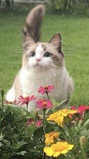 見つめる猫と花畑の写真・画像素材[4097645]