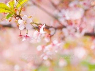 桜のクローズアップの写真・画像素材[4217907]