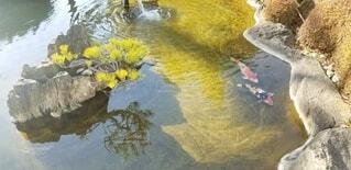 池の鯉の写真・画像素材[4120918]