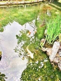 公園の池の鯉の写真・画像素材[4150040]