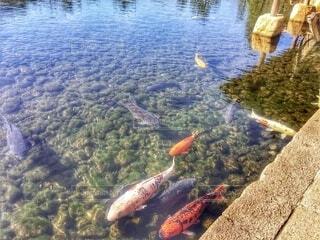 公園の池で泳ぐコイの写真・画像素材[4185607]