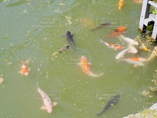 水の中を泳ぐ鯉と亀の写真・画像素材[4331622]