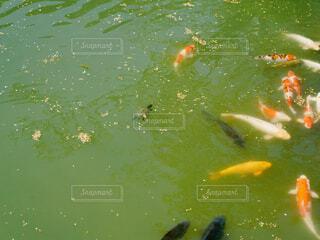池の鯉と亀の写真・画像素材[4331624]