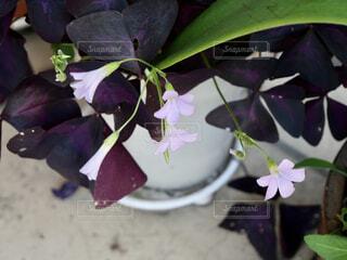 ピンクの小さなお花と紫の葉っぱの写真・画像素材[4608952]