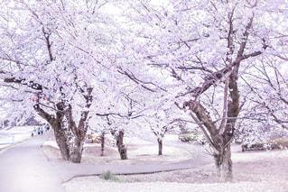 雪に覆われた木の写真・画像素材[2138112]