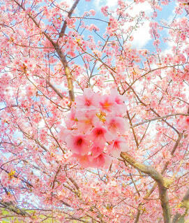 河津桜よ、あー美しや美しやの写真・画像素材[4101945]
