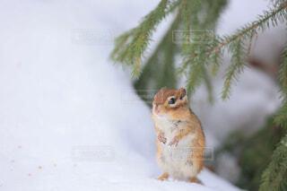 冬眠から目覚めたエゾシマリスの写真・画像素材[4288714]