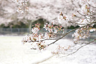花 - No.443597