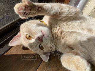 肉球見せ猫の写真・画像素材[4115025]