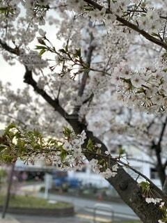 葉桜になっているソメイヨシノの枝のアップの写真・画像素材[4118542]
