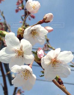 春の写真・画像素材[175309]