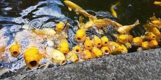 鯉の写真・画像素材[4122964]