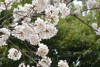 桜の写真・画像素材[1076577]