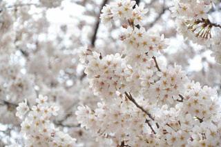 桜の写真・画像素材[1076588]