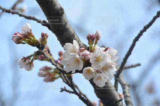 桜のつぼみ - No.1079934