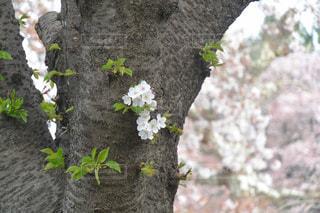 桜は見納めの写真・画像素材[1099168]
