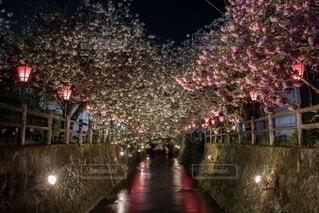 夜桜の写真・画像素材[4144082]