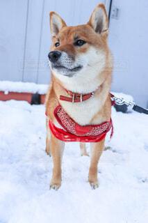 雪の中の犬の写真・画像素材[4131573]