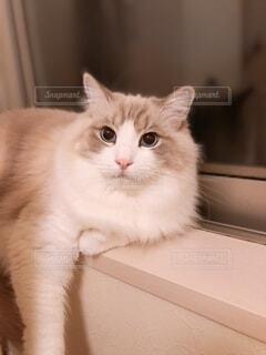 窓辺に寝そべる猫の写真・画像素材[4320756]