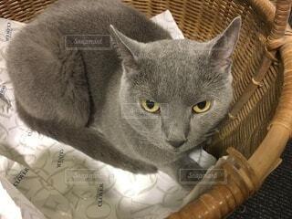 かごの中に座っている灰色の猫の写真・画像素材[4137472]