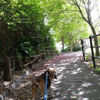 ビーグルの散歩の写真・画像素材[4139432]
