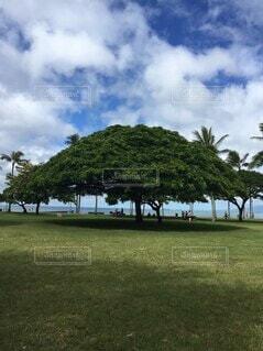 ハワイの大きな木の写真・画像素材[4139431]