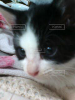 ハチワレ子猫の写真・画像素材[4139581]