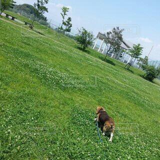 公園を満喫するビーグルの写真・画像素材[4142560]