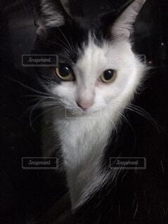 カメラ目線の猫の写真・画像素材[4143096]