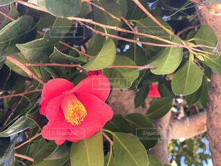 ピンクの椿の花の写真・画像素材[4259618]
