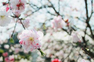 桃の花のクローズアップの写真・画像素材[4291669]