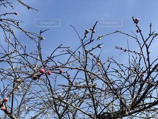 桃の花のつぼみの写真・画像素材[4311779]
