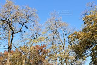 黄色く紅葉した樹木の写真・画像素材[4376415]