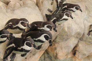 ペンギンの群れの写真・画像素材[4600601]