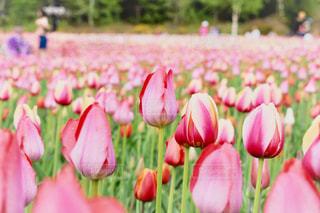 花の写真・画像素材[528801]