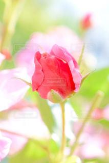 花の写真・画像素材[590380]