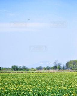 春の菜の花畑の写真・画像素材[1215480]