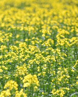 菜の花畑の写真・画像素材[1215482]
