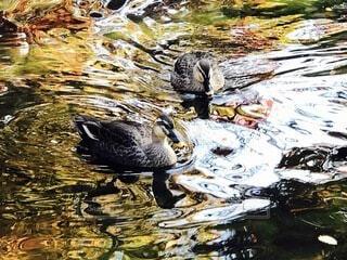 水の中を泳ぐ鳥の写真・画像素材[4142399]