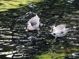 カモメの群れが水の中で泳いでいるの写真・画像素材[4142411]