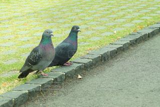 2羽の鳩の写真・画像素材[4430846]