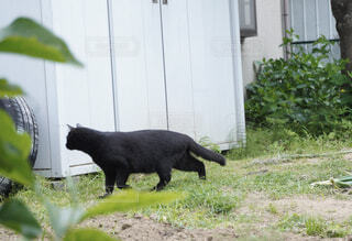 土の上を歩く黒猫の写真・画像素材[4460208]